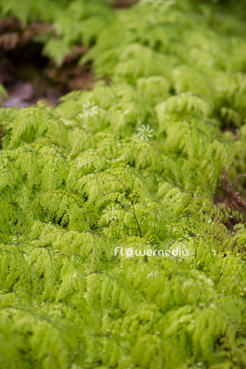 Adiantum venustum - Evergreen maidenhair (109434)