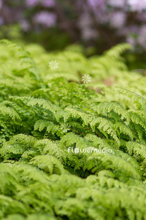 Adiantum venustum - Evergreen maidenhair (109435)