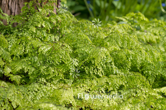 Adiantum venustum - Evergreen maidenhair (109436)