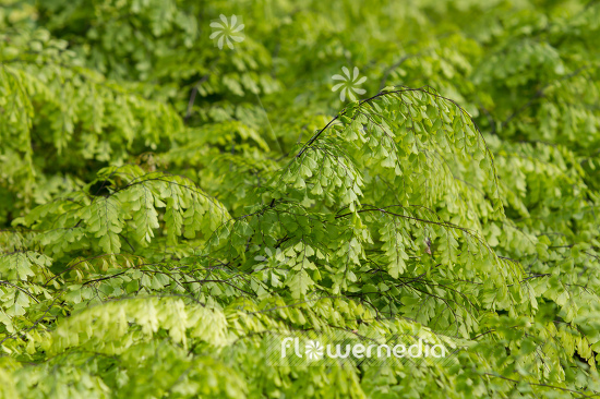 Adiantum venustum - Evergreen maidenhair (109437)