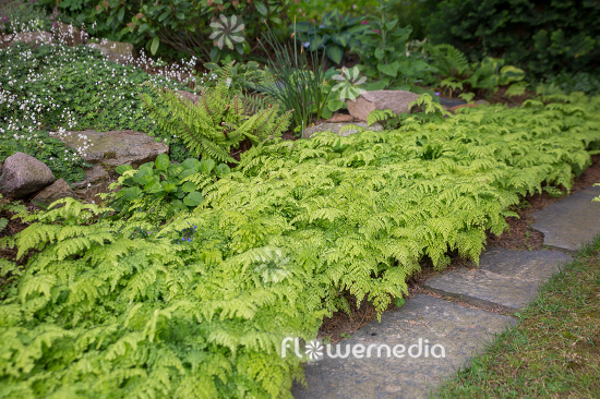 Adiantum venustum - Evergreen maidenhair (111850)