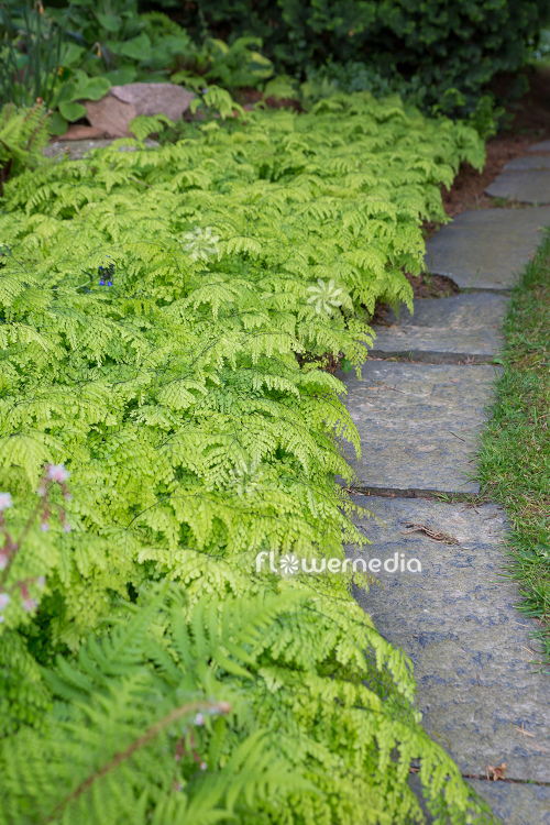 Adiantum venustum - Evergreen maidenhair (111851)