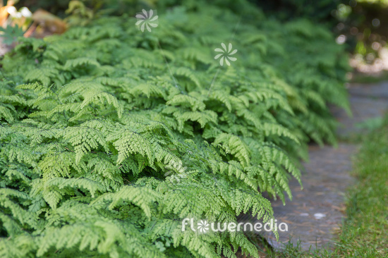 Adiantum venustum - Evergreen maidenhair (112395)