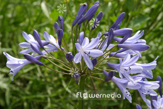 Agapanthus africanus - Blue african lily (108771)