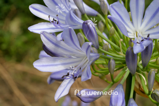 Agapanthus africanus - Blue african lily (108780)