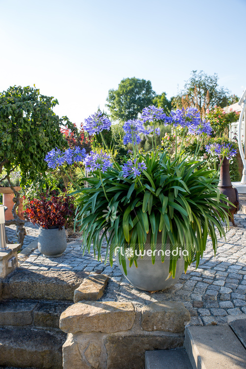 Agapanthus africanus - Blue african lily (109454)