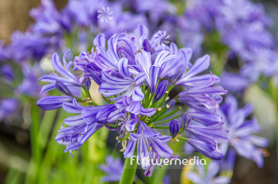 Agapanthus 'Charlotte' - African lily (108789)
