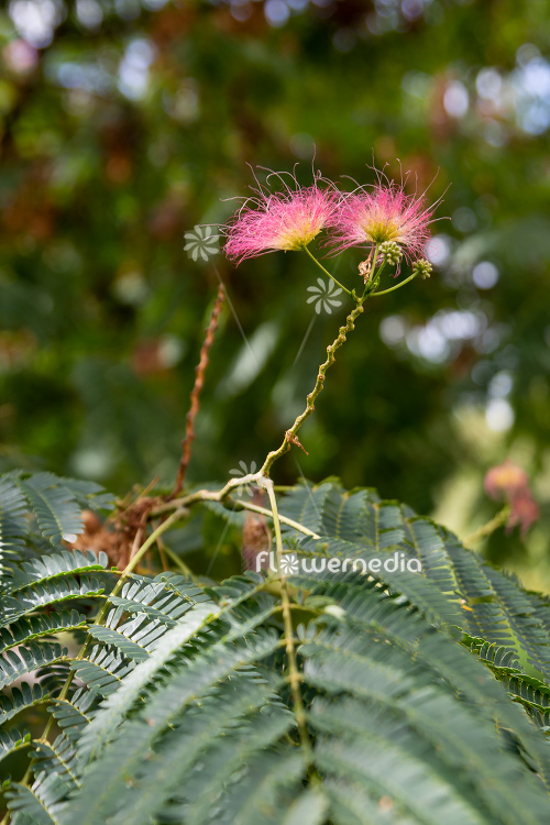 Albizia julibrissin f. rosea - Persian silk tree (112093)