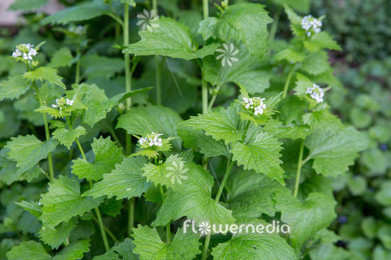 Alliaria petiolata - Garlic mustard (111907)
