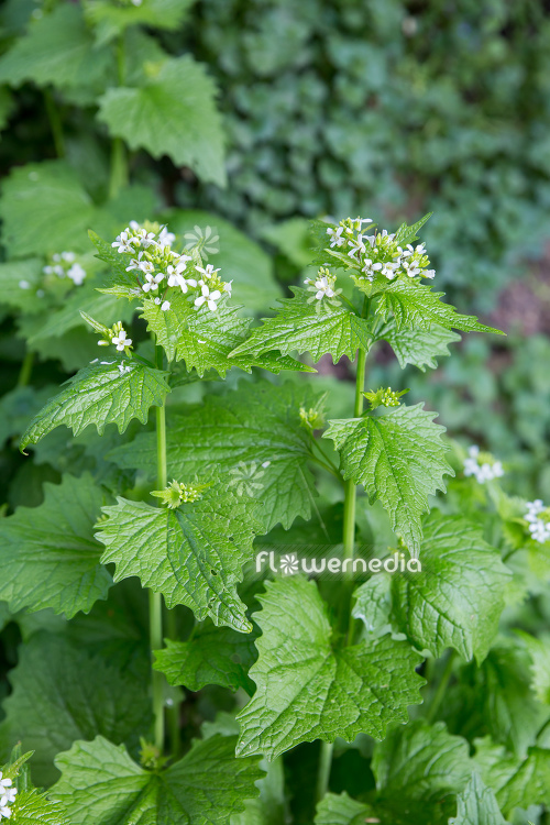 Alliaria petiolata - Garlic mustard (111908)