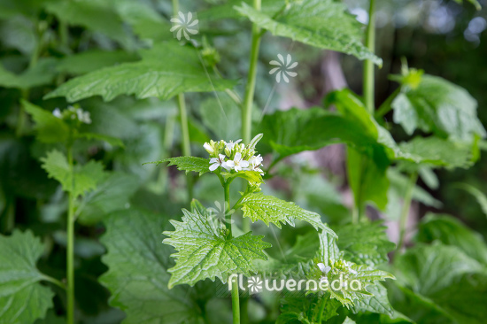 Alliaria petiolata - Garlic mustard (111909)
