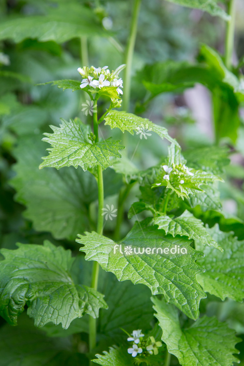 Alliaria petiolata - Garlic mustard (111910)