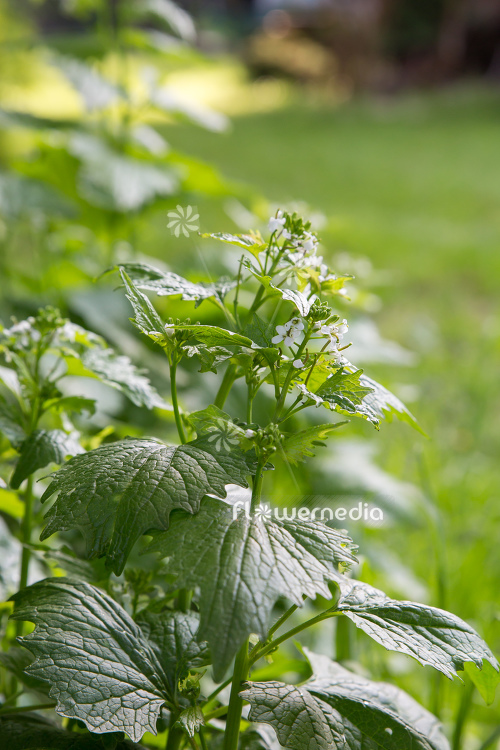 Alliaria petiolata - Garlic mustard (111911)