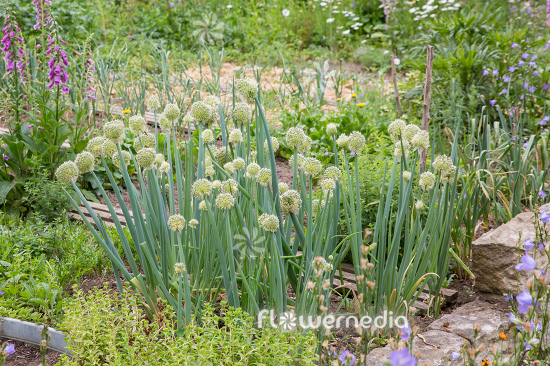 Allium fistulosum - Welsh Onion (111916)