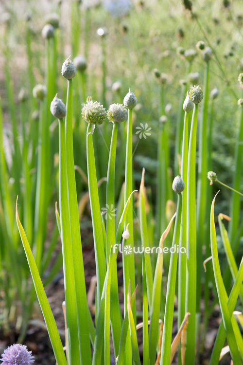 Allium fistulosum - Welsh Onion (111949)