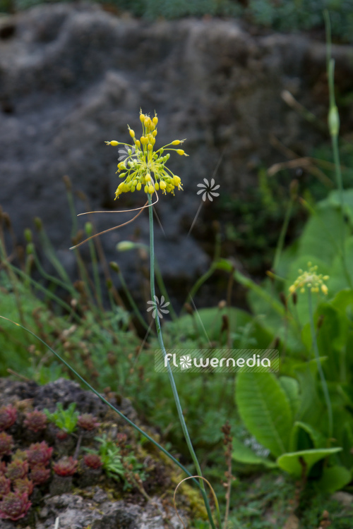 Allium flavum - Yellow-flowered garlic (106997)