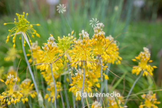Allium flavum - Yellow-flowered garlic (111950)
