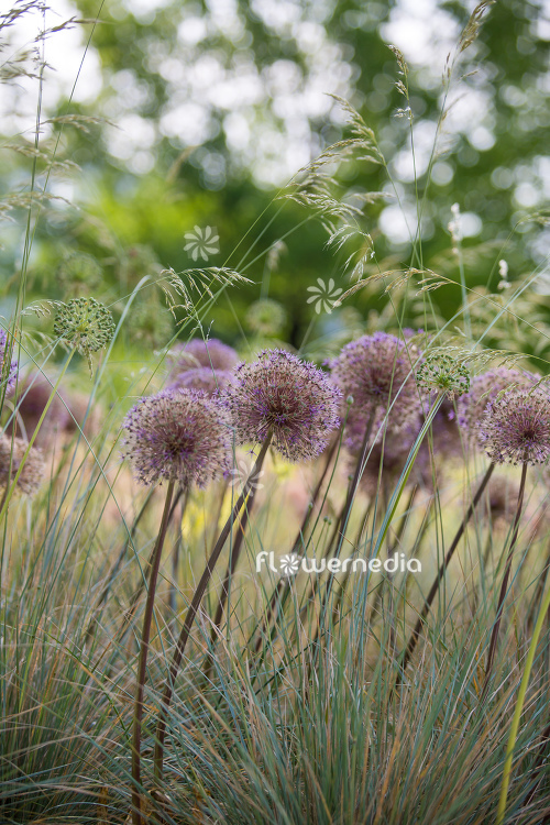 Allium hollandicum - Dutch garlic (112665)