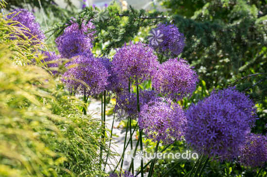 Allium hollandicum - Dutch garlic (112667)
