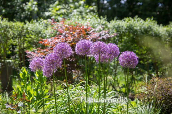 Allium hollandicum - Dutch garlic (112668)