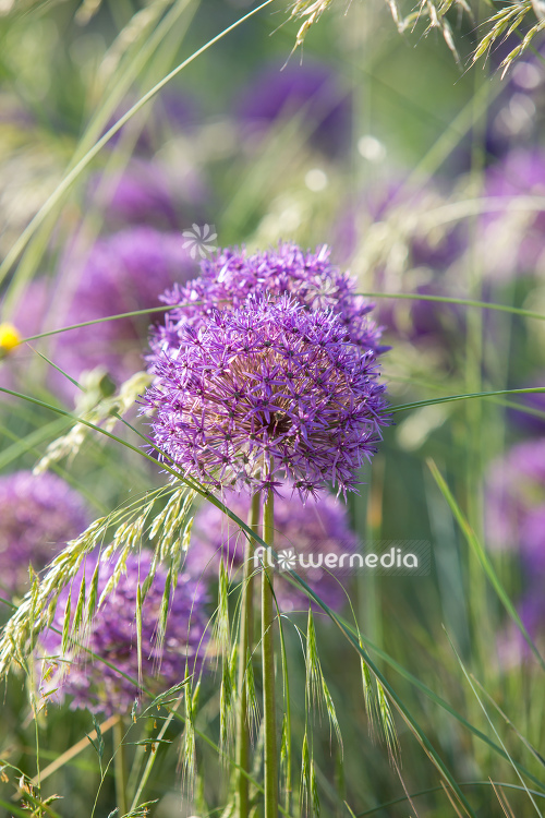Allium hollandicum - Dutch garlic (112670)