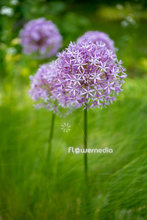 Allium hollandicum - Dutch garlic (112671)