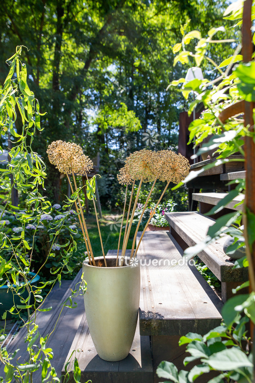Allium hollandicum - Dutch garlic (112672)