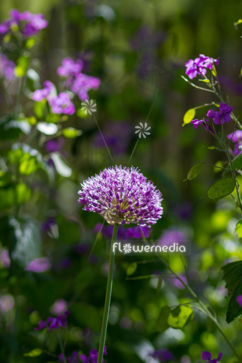 Allium hollandicum - Dutch garlic (112880)