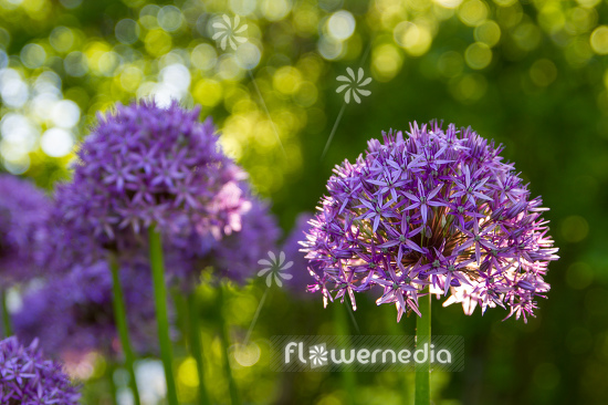Allium hollandicum - Dutch garlic (112884)