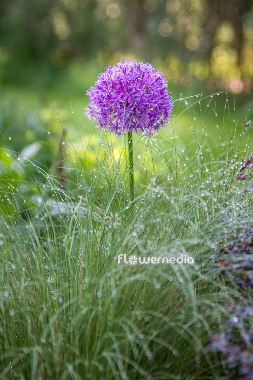 Allium hollandicum - Dutch garlic (112885)