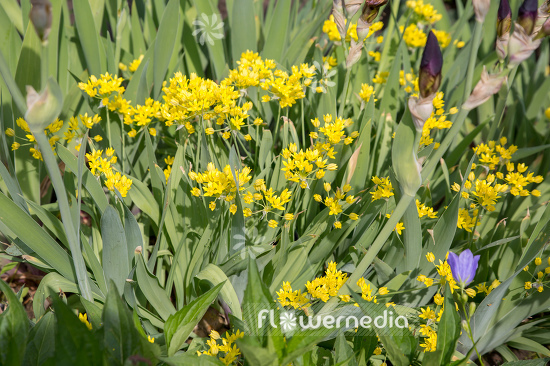 Allium moly - Golden garlic (107019)