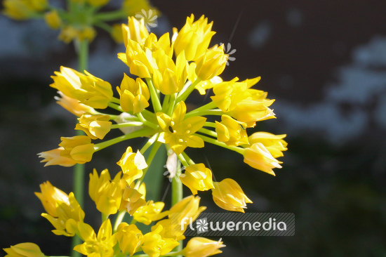 Allium moly - Golden garlic (107020)