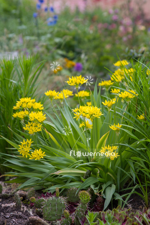 Allium moly - Golden garlic (107207)