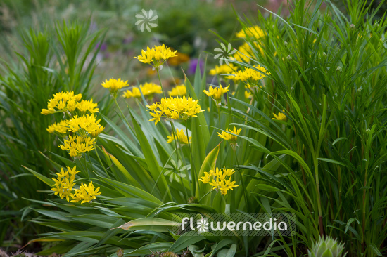 Allium moly - Golden garlic (107208)