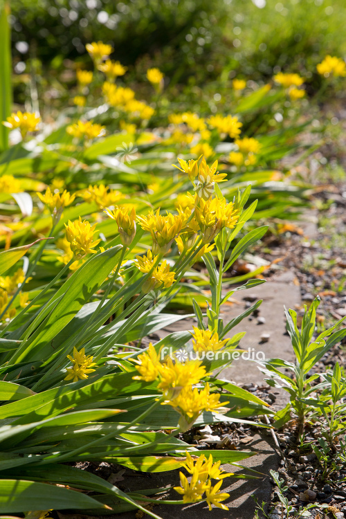 Allium moly - Golden garlic (112422)