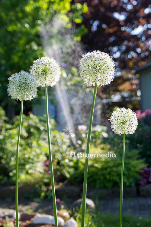 Allium 'Mount Everest' - White-flowered persian shallot (112673)