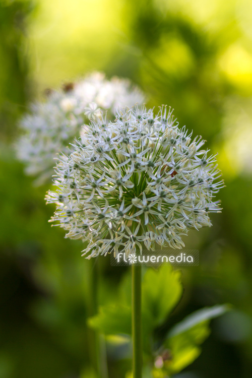 Allium 'Mount Everest' - White-flowered persian shallot (112675)