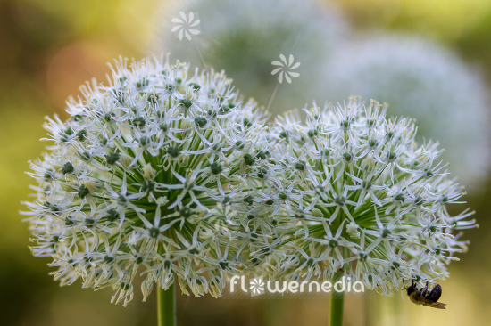 Allium 'Mount Everest' - White-flowered persian shallot (112676)