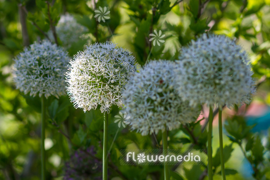 Allium 'Mount Everest' - White-flowered persian shallot (112678)