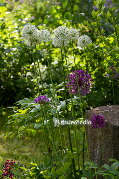 Allium 'Mount Everest' - White-flowered persian shallot (112679)