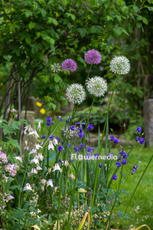 Allium 'Mount Everest' - White-flowered persian shallot (112683)