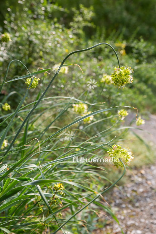 Allium obliquum - Twisted leaf garlic (107210)