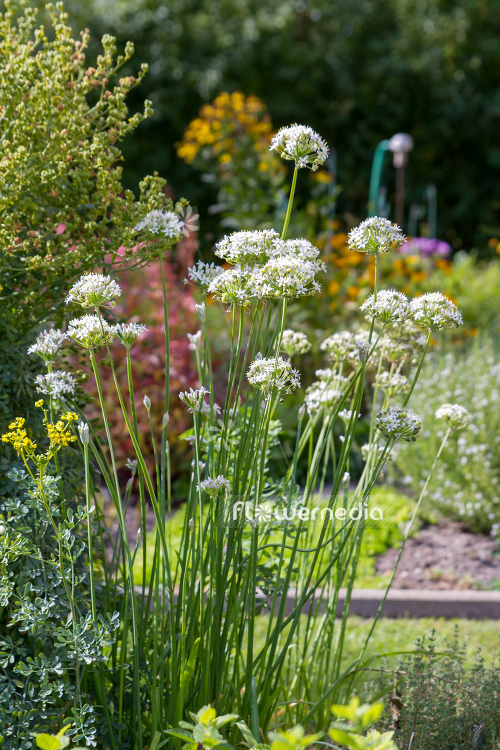 Allium tuberosum - Chinese chives (107052)