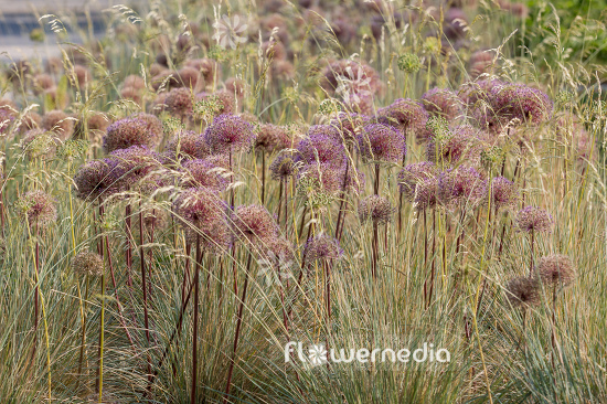 Allium with grasses (107136)