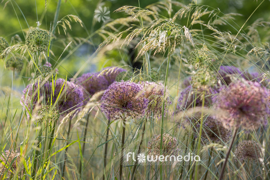 Allium with grasses (107281)