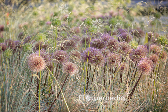 Allium with grasses (107282)