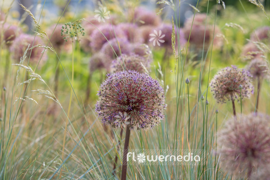 Allium with grasses (107283)