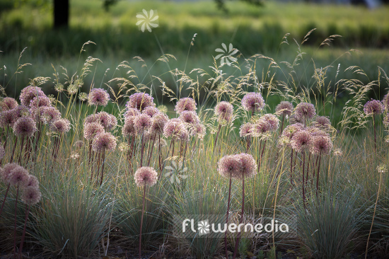 Allium with grasses (107284)