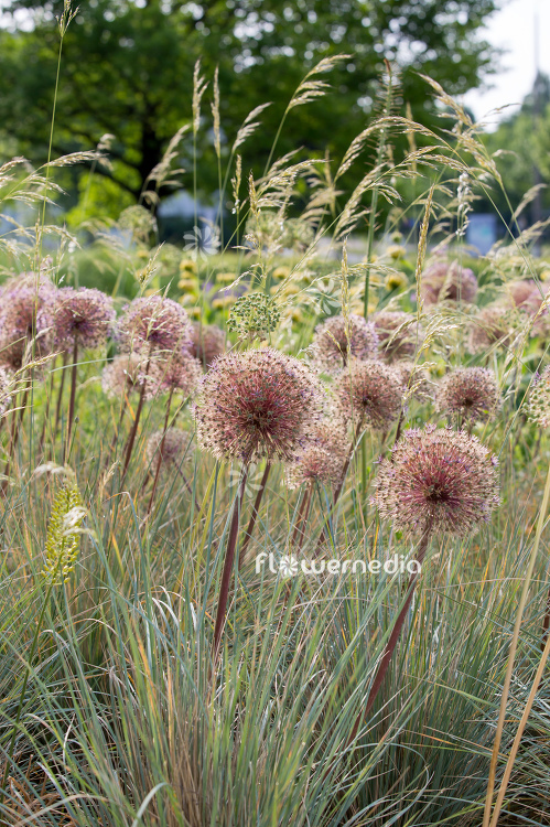 Allium with grasses (107287)