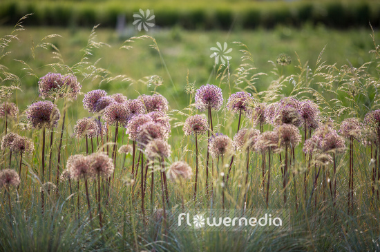Allium with grasses (107289)